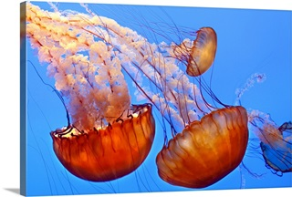 Jellyfish Wall Art Canvas Prints Jellyfish Panoramic Photos Posters Photography Wall Art Framed Prints More Great Big Canvas