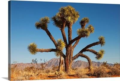 Joshua tree in desert with blue sky