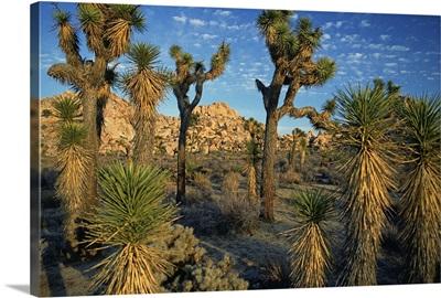 Joshua Tree National Park, Mohave Desert
