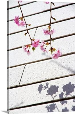 Kawadu sakura and its shadow on wall, Japan.