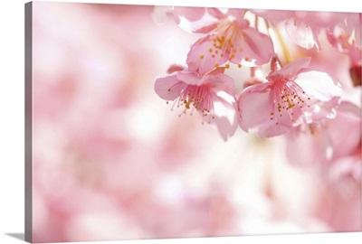 Kawazu cherry blossom.