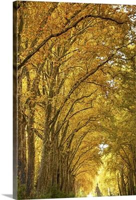 Lane of plane trees.