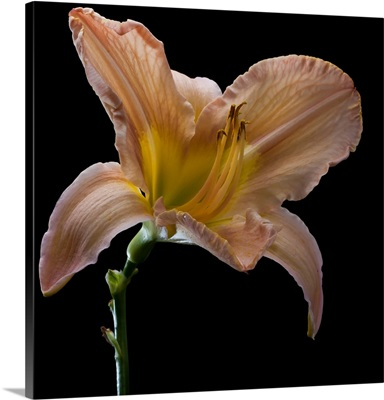 Last day lily flower of summer shot against black background.