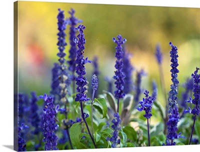 Late summer garden filled with violet colored Salvia flowers.