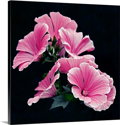 Lavatera Trimestris, beautiful pink rose mallow garden flowers on black background.