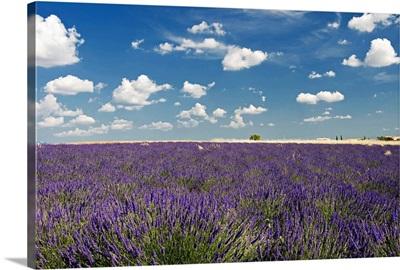 Lavender field against blue sky.