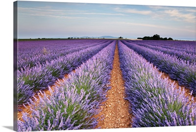 Lavender field in blossom, France.