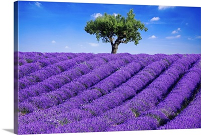 Lavender field in summer with one tree. Haute Provence, France