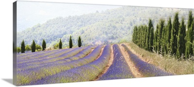 Lavender fields, France.