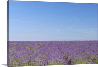 Lavender (Lavendula angustifolia) field, blooming in long rows, France