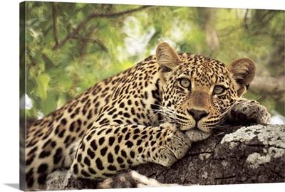 Leopard (Panthera pardus) lying in tree