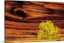 Lichen on old bristle cone pine wood
