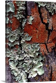 Lichen on tree bark
