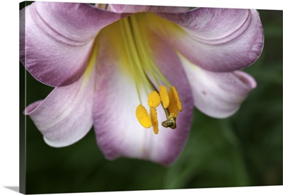 Lilium regale is a trumpet flowered lily, native to western Szechuan in China.