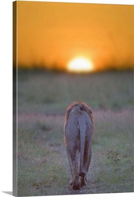Lion walking towards the sunset, Kenya, Masai Mara