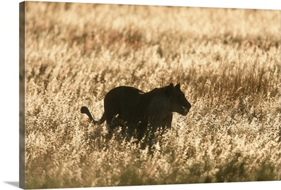 Lioness silhouetted in long grass at dusk.