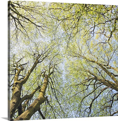 Looking up at tree tops in woodland.