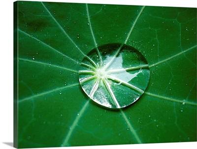 Lotus Effect on Dark Green Leaf