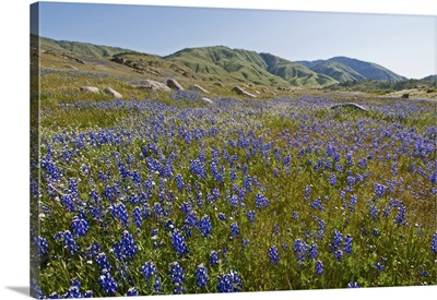 Lupine flowers at the base of the Tehachapi Mountains, California