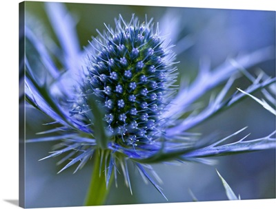 Macro image of Sea Holly  perennial with hairless and usually spiny leaves