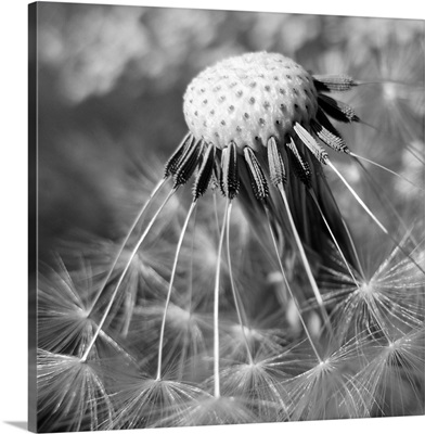 Macro of dandelion head with some remaining seeds.