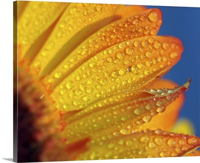 Macro yellow flower with rain drops