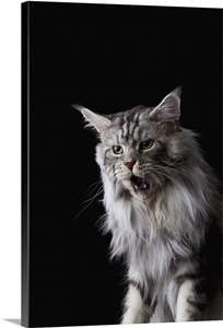 Maine Coon Cat Wall Art Canvas Prints Framed Prints
