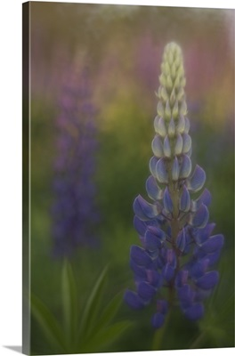 Maine lupine field at sunset.