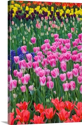 Mass Plantings Of Tulips In Keukenhof Gardens