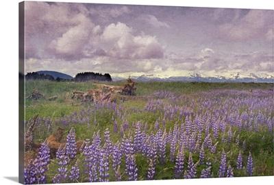 Meadow of Lupine flowers in Alaskan wilderness. Moss covered logs among flowers.