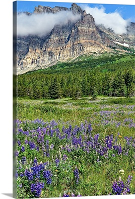 Meadows of many glacier section of Glacier National Park are in full bloom with lupines.