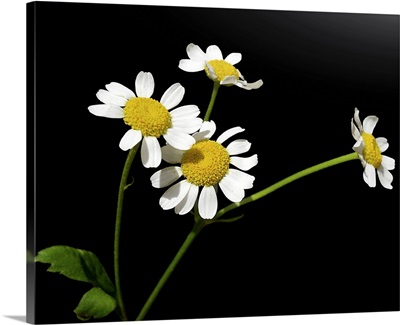 Medical plant Chamomile with four small blossoms, on black background.