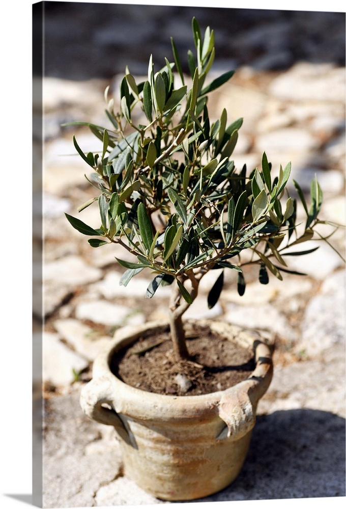 Miniature Olive Tree Growing In A Rustic Terracotta Pot In A Garden In  Provence France