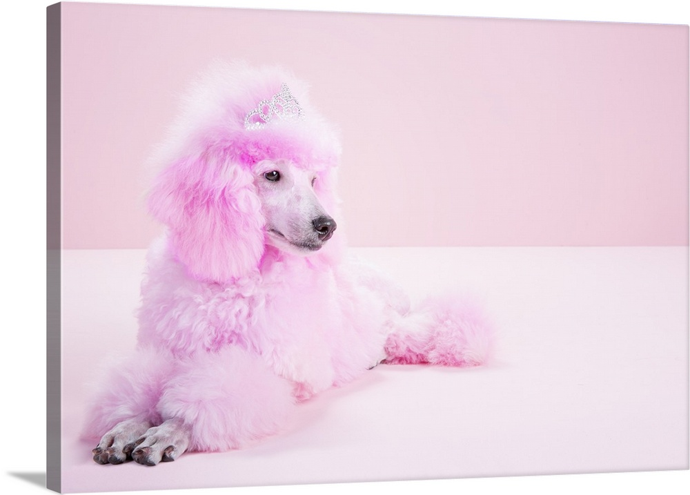 Miniature Pink Poodle Pink Poodle Studio Wall Art Canvas Prints Framed Prints Wall Peels Great Big Canvas
