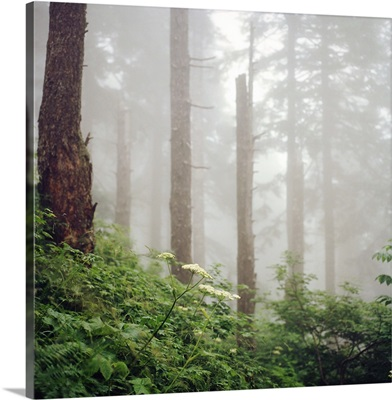 Misty woods in forest.