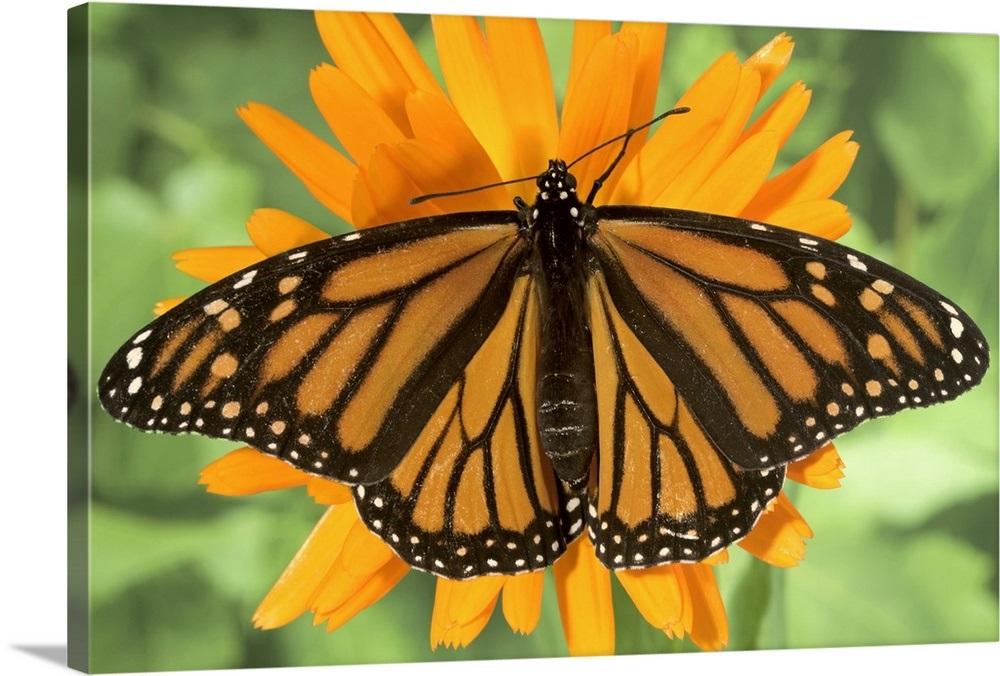 4285bce0a Monarch butterfly (Danaus plexippus) on pot marigold (Calendula  officinalis). Wall Art