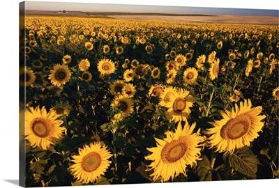 Morning Light On A Sunflower Field