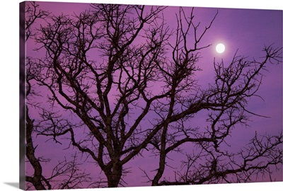 Morning moon over silhouette of bare tree against purple colored sky near Dallas, Texas.