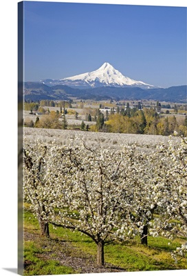 Mount Hood in the background of an apple orchard, Oregon