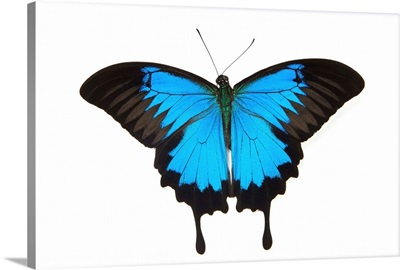 Mountain Blue Swallowtail Butterfly From Australia, Papilio Uysses