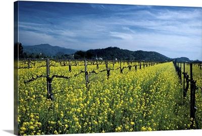 Mustard seed, Napa Valley