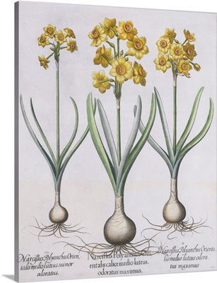 Narcissis Polyanthus by Basil Besler