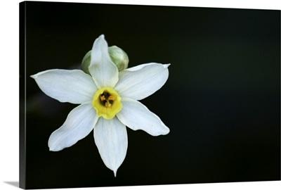 Narcissus on black background.