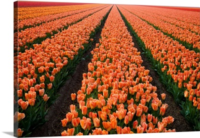 North Holland, Netherlands, Springtime Tulips Fields In Orange Tones