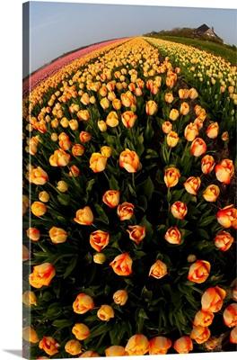 North Holland, Netherlands, Springtime Tulips Fields In Orange Tones