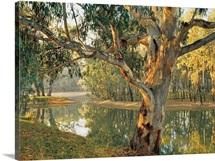 Old River Red Gum by a Murray River billabong at Corowa, New South Wales, Australia