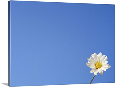 One daisy against blue sky