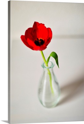 Open red tulip in small glass vase on white table, Netherlands.