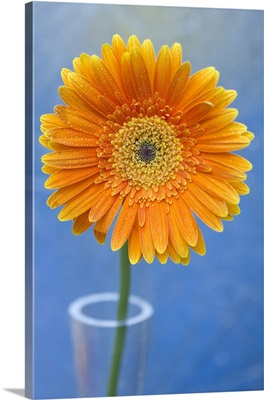 Orange gerbera daisy  propped in glass vase, against bright blue backdrop.