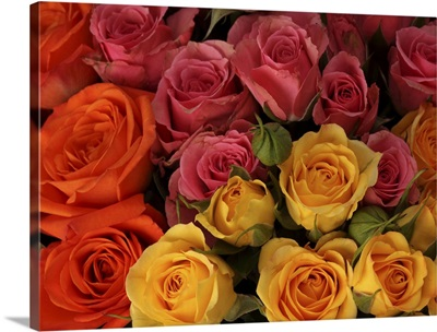 Orange, red, and yellow roses